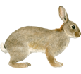 Imagen Conejo de campo